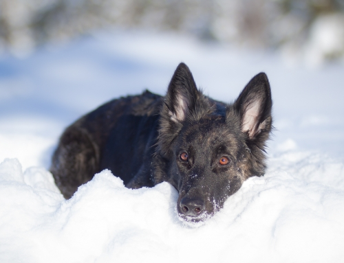 Should Dutch Shepherd eyes be examined?